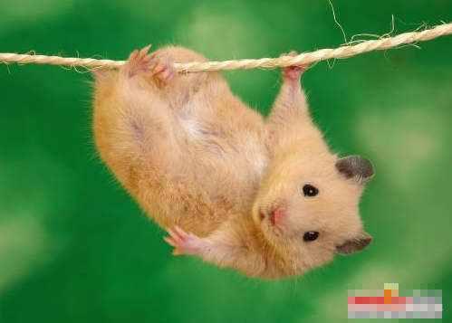超级可爱的小老鼠登场
