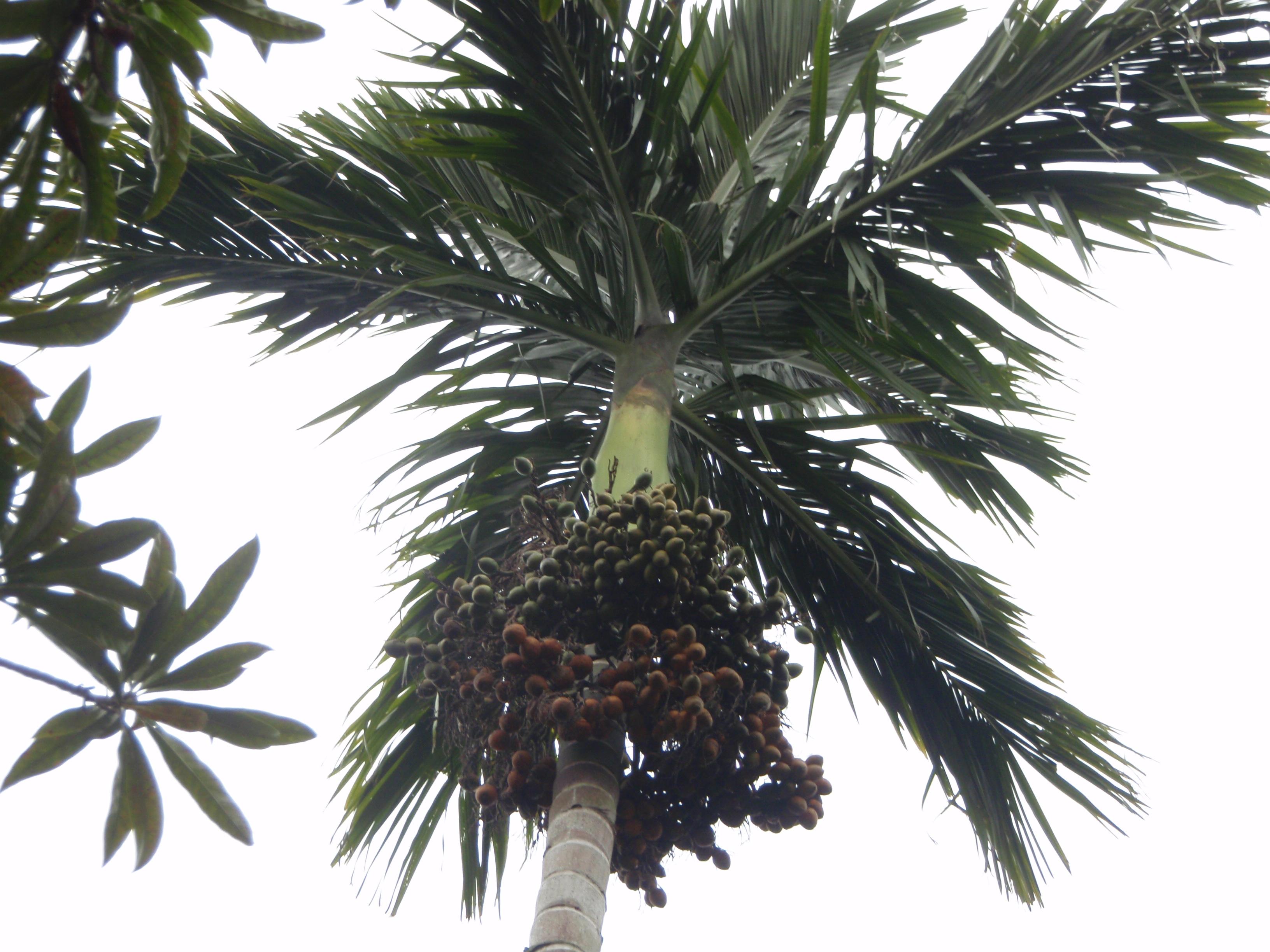 槟榔树摄影图